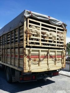 trasporto animali vivi maltrattamento